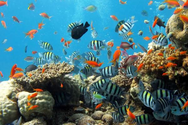 Un banc de poissons multicolores évolue dans les coraux du Mozambique