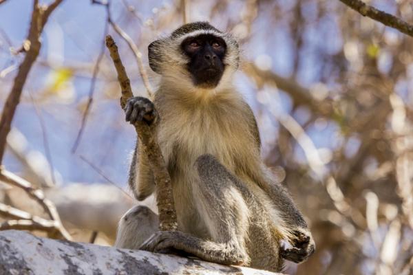 Un singe vervet est posé tranquillement sur les branches d'un arbre