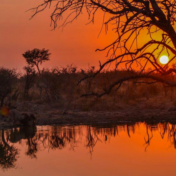 Coucher de soleil orangé sur la brousse avec 2 lions en train de boire