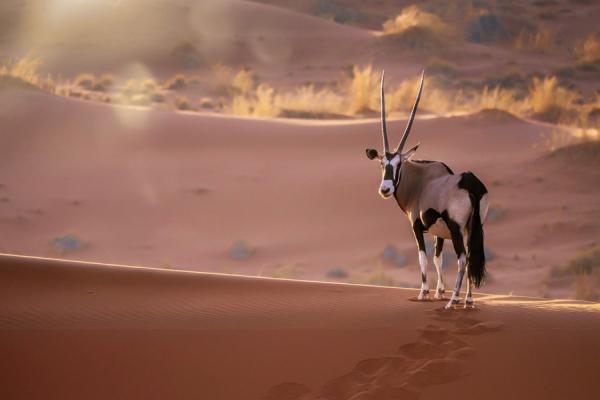 Un oryx, souvent aperçu en Namibie, se balade au cœur des dunes