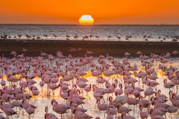 Des centaines de flamands roses face à la mer au coucher du soleil