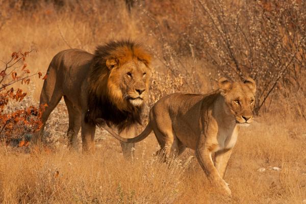 Au cœur de la brousse, un lion et une lionne avancent ensemble