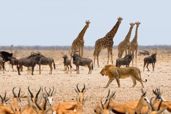 le safari parfait : antilopes, gnous, girafes, autruche et lion réunis