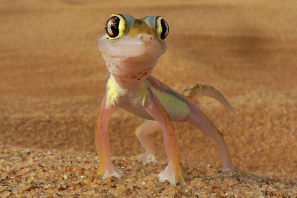 Face caméra, zoom sur la tête sympathique d'un gecko du désert