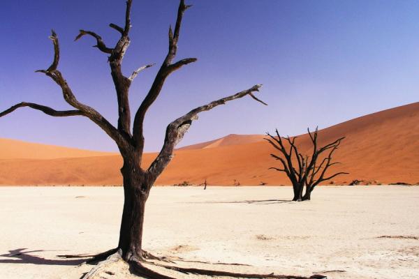 Zoom sur 2 arbres morts de Sossusvlei dans le Dead vlei