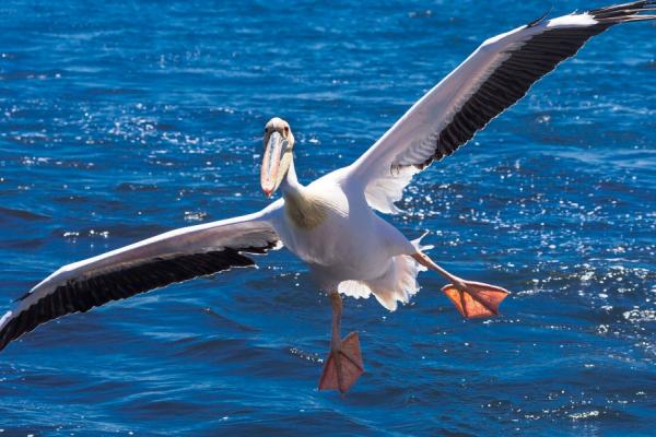 Face caméra, les ailes grandes ouvertes, un pélican prend son envol