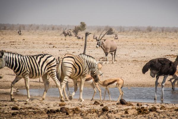 Zèbres, impalas, oryx et autruches s'abreuvent au parc Etosha