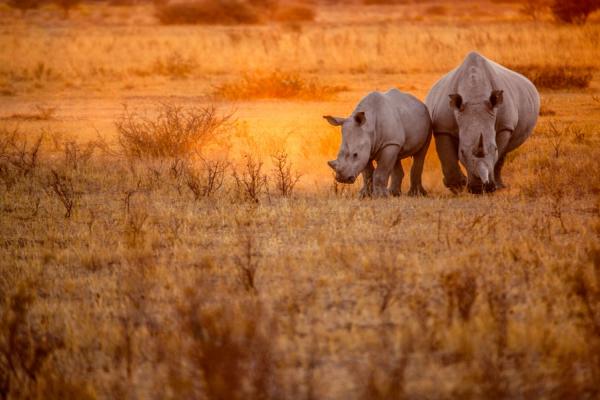Un rhinocéros et son bébé évoluent dans la poussière orangée du bush