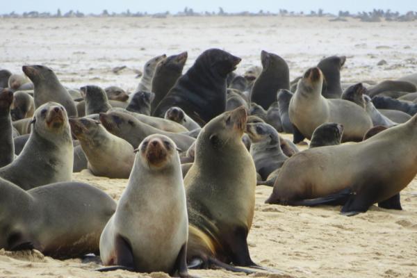 Un groupe d'otaries se prélasse sur le sable du littoral namibien