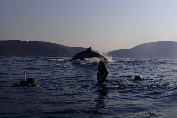 un dauphin en plein saut vole au dessus d'un plongeur en snorkeling
