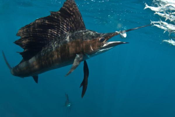 zoom sur un espadon prêt à avaler des sardines durant la migration