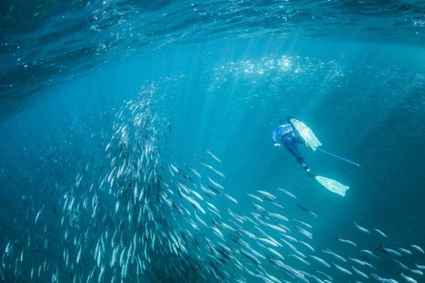 un plongeur avec masque et tuba nage au sein de milliers de sardines