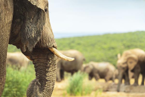 Zoom sur le profil d'un éléphant avec un troupeau derrière