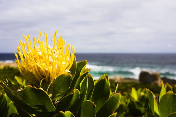 A Kolgeberg, gros plan sur une belle protea jaune avec en fond l'océan