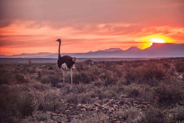En pleine nature du Karoo, une autruche évolue au coucher du soleil