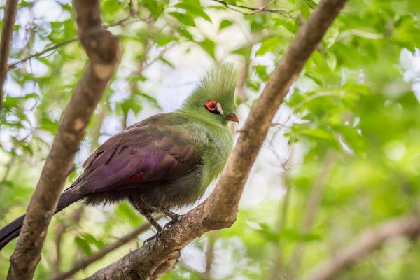 L'oiseau coloré de Tsitsikamma(le Knysna Turaco)posé sur une branche
