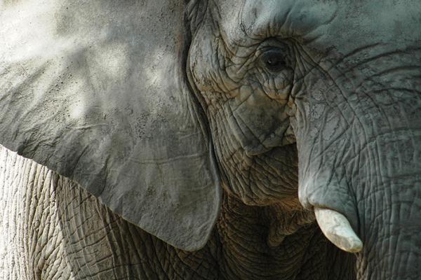 Face caméra, gros plan sur la tête d'un magnifique pachyderme