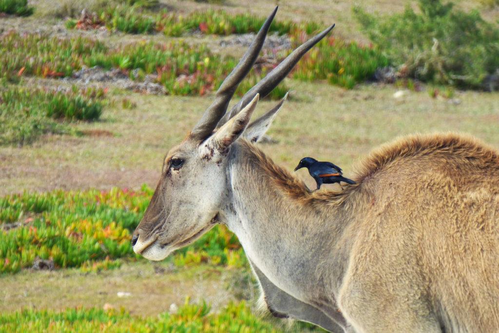 Zoom sur un éland du Drakensberg avec un oiseau sur son dos