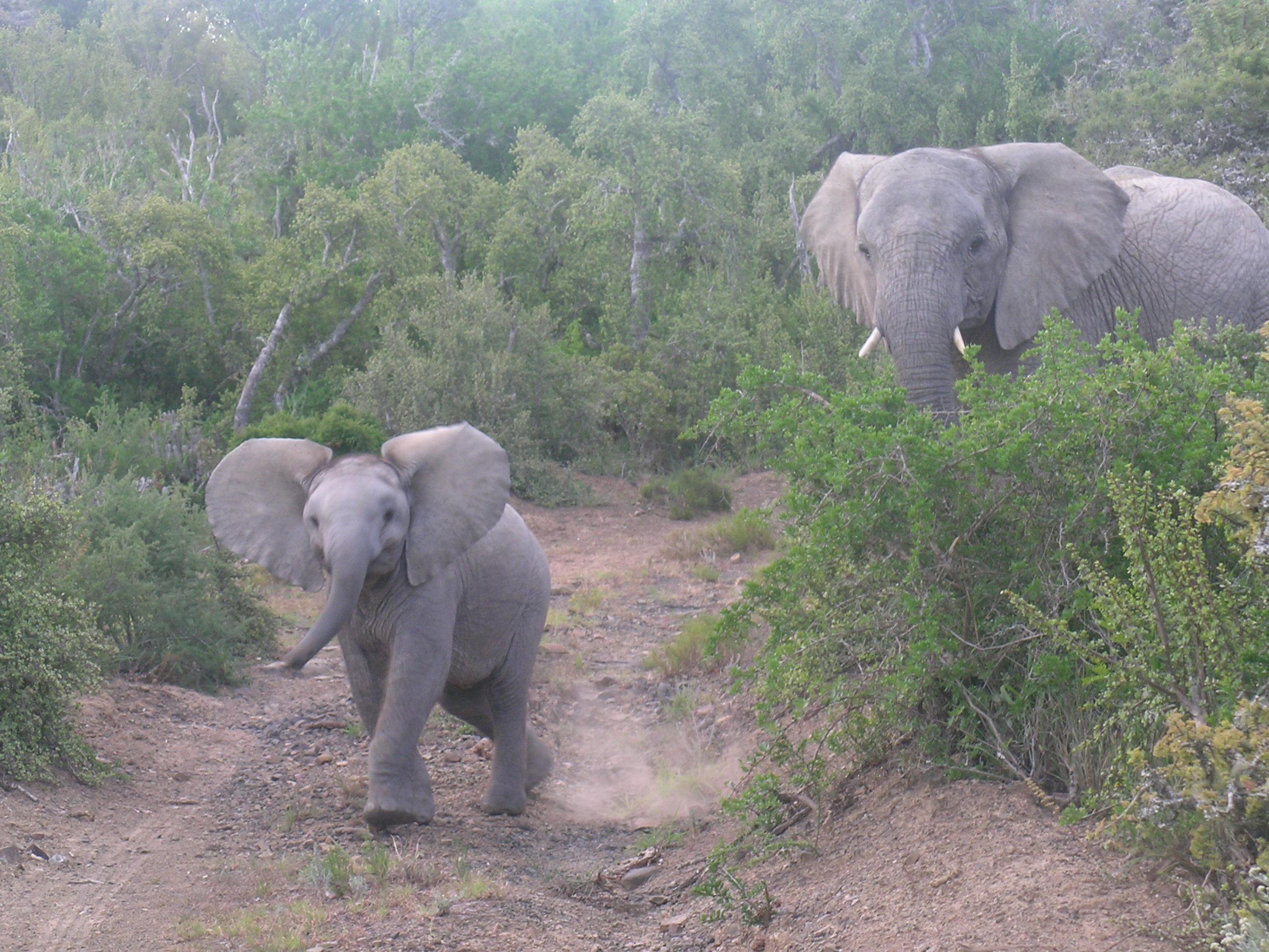 Un elephant surveille sous petit qui avance joyeusement vers l'objectif de l'appareil