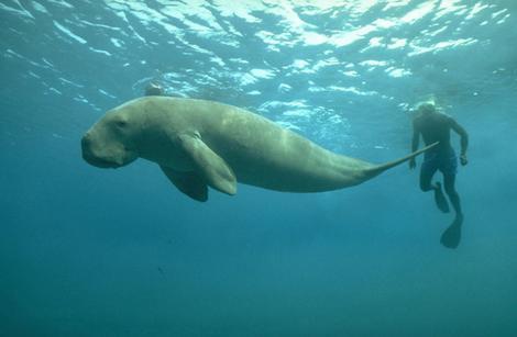 Un dugong évolue dans son milieu naturel avec un plongeur à ses côtés