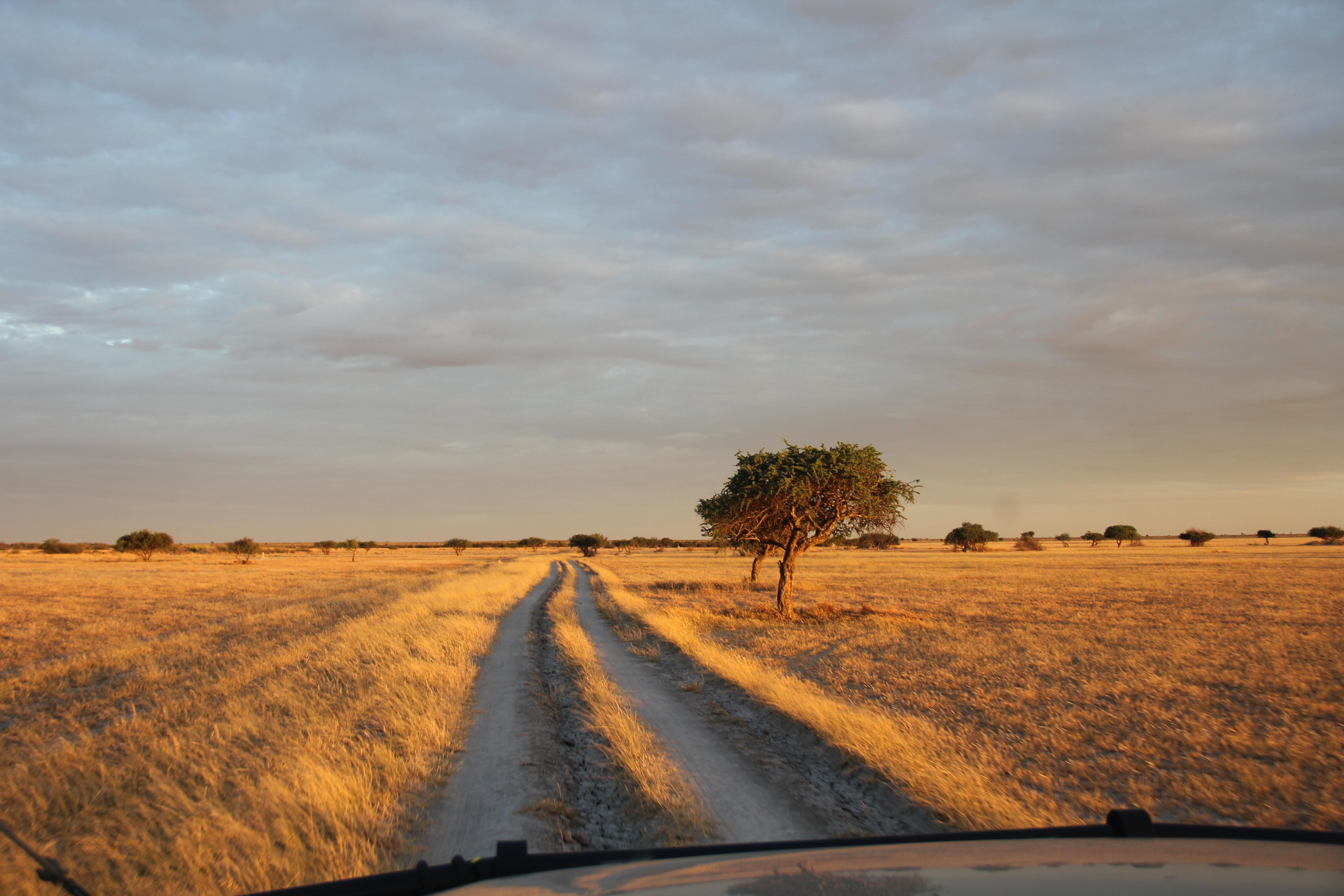 Une longue route s'étend devant nous entre les hautes herbes du central Kalahari