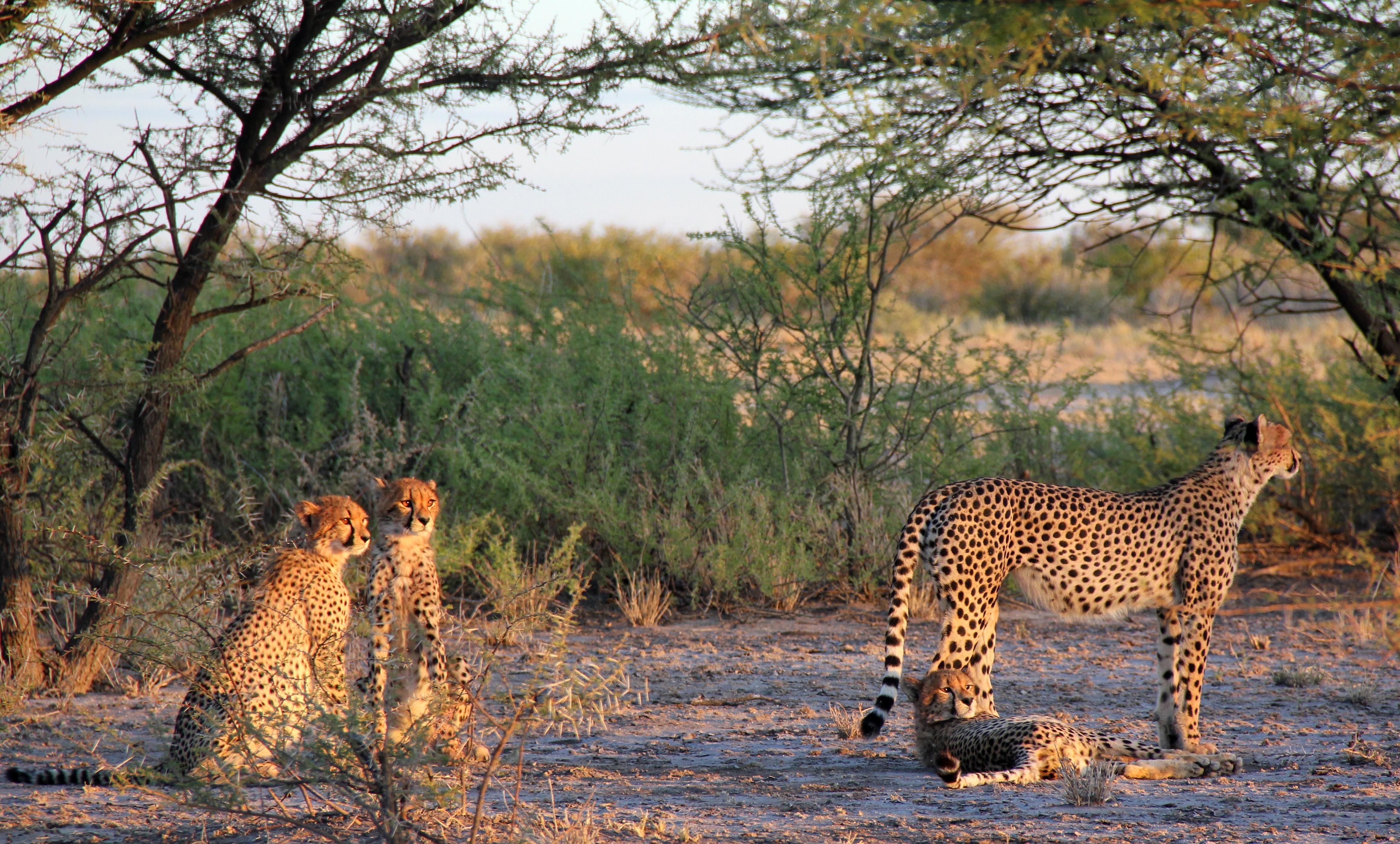 Quatre guépards se reposent au coucher du soleil sur les terres du central kalahari