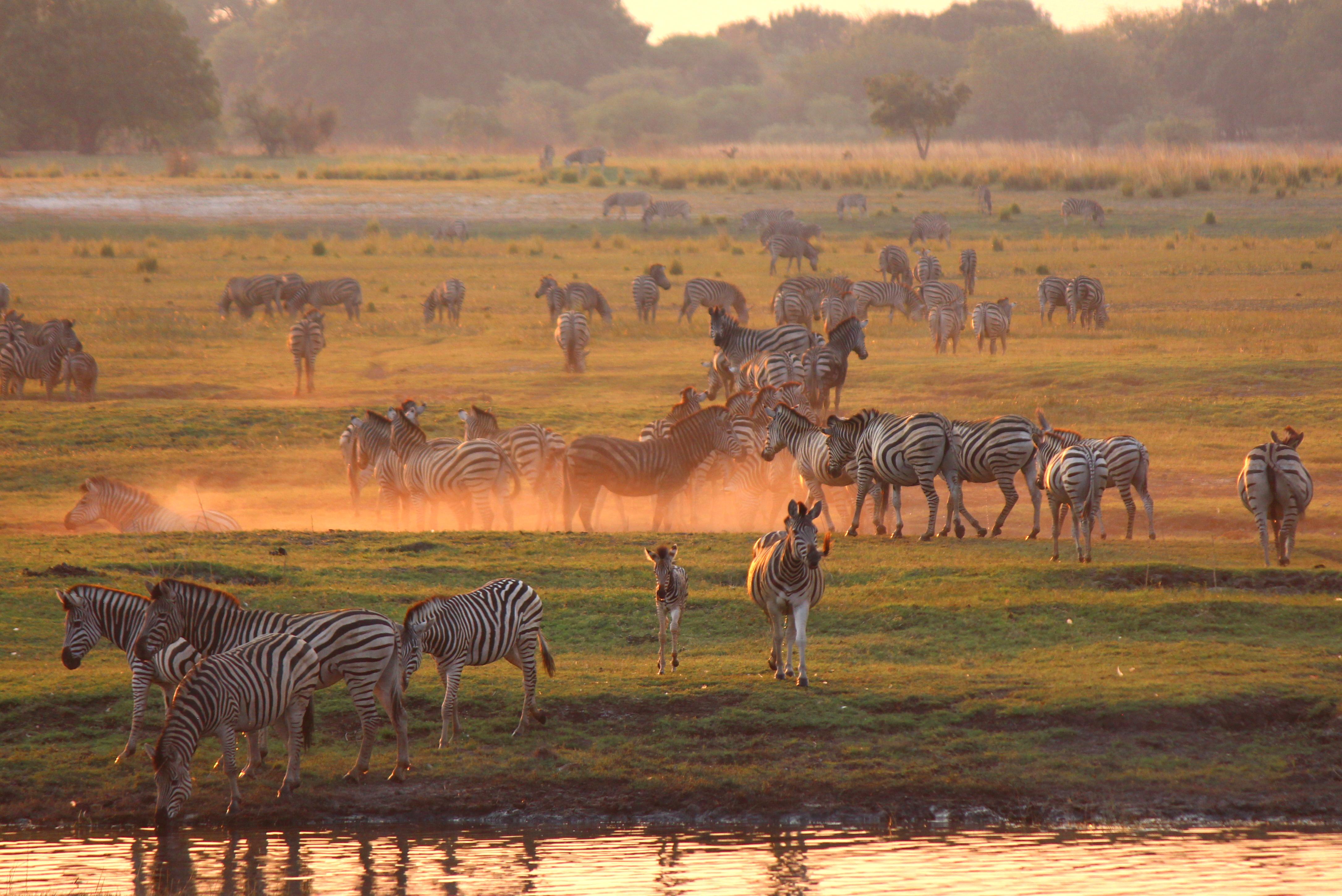 Un troupeau de zèbres petre tranquillement le long d'un point d'eau de Chobe