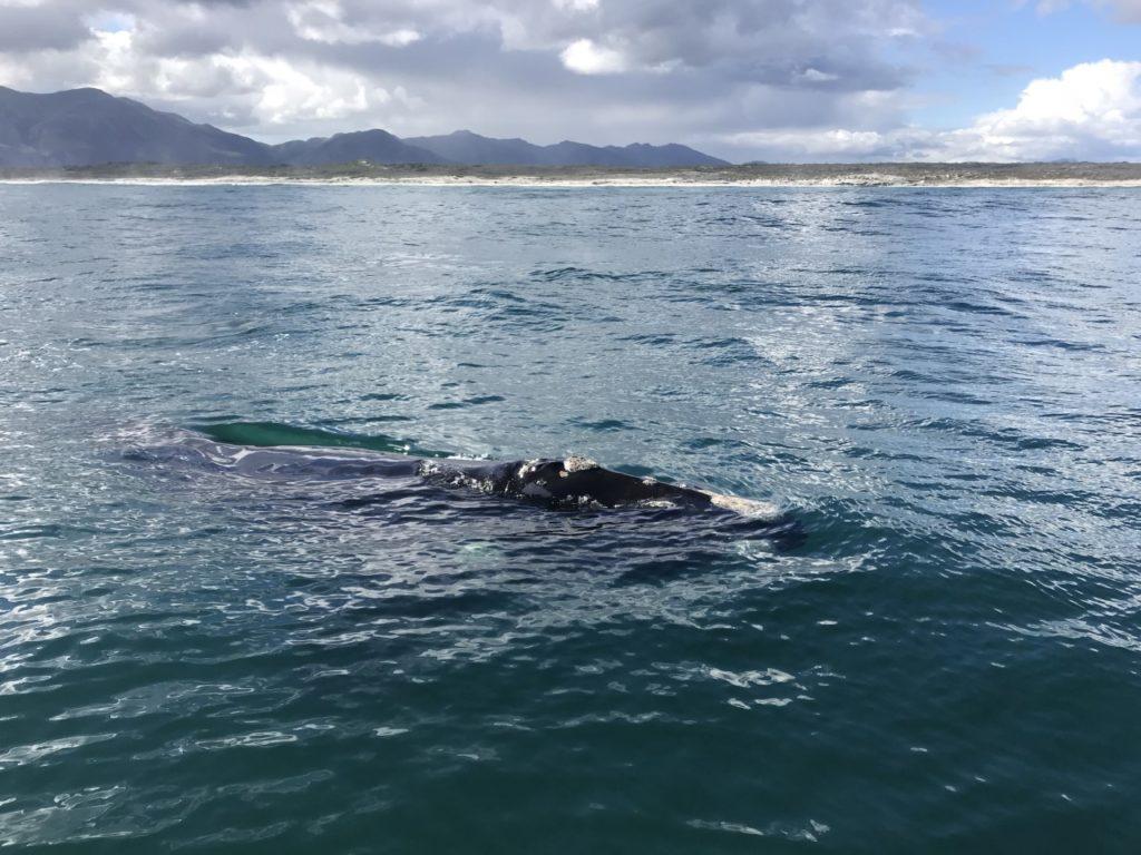 Baleine flottant pésiblement dans l'océan dans la région d'Hermanus