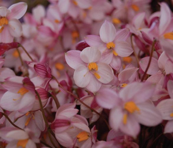 Des petites orchidees roses serrees les unes contre les autres au festival clanwilliam