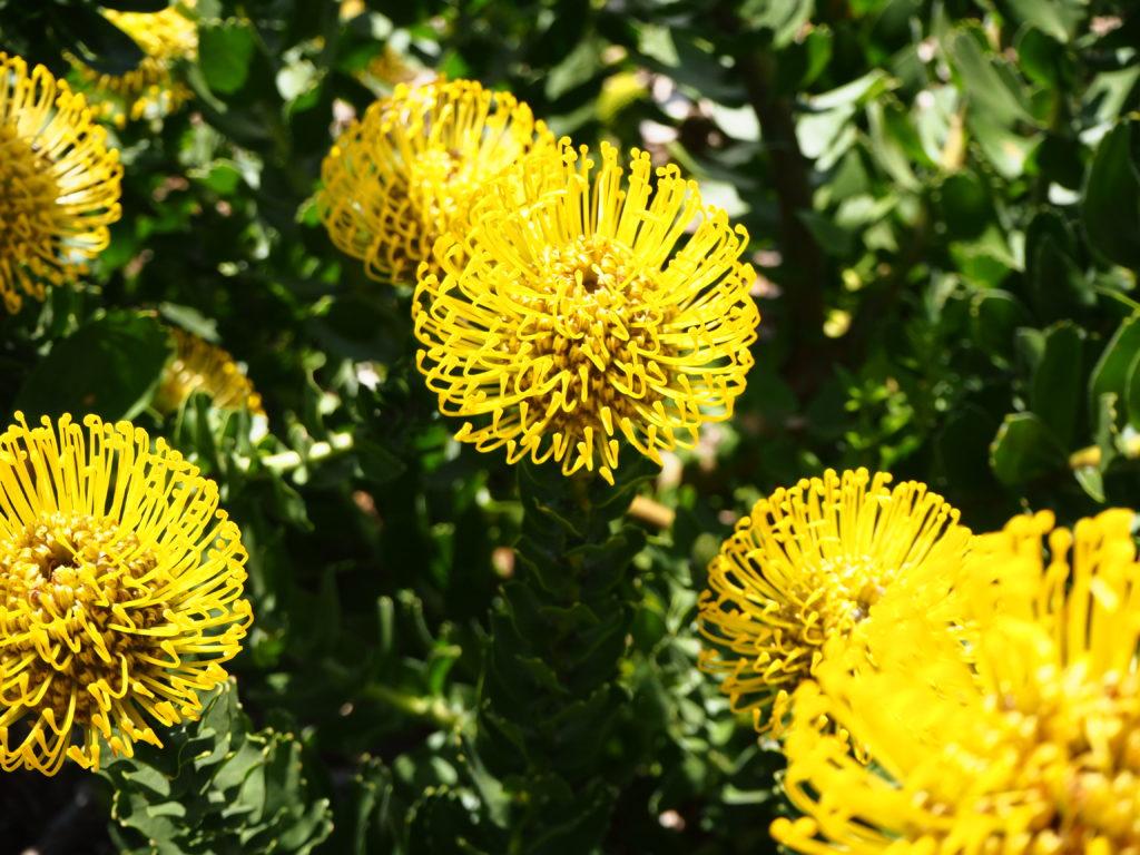 Proteas jaunes refletant la lueur du soleil dans un fond de couleur verte