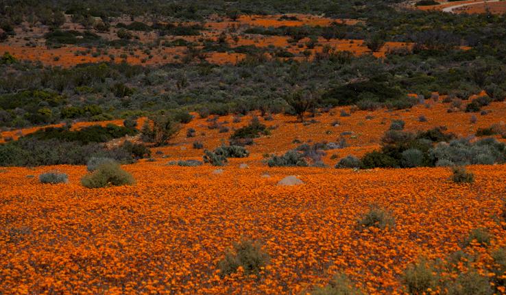 Un par terre immense de petites fleurs oranges se profile a l horizon avec des buissons