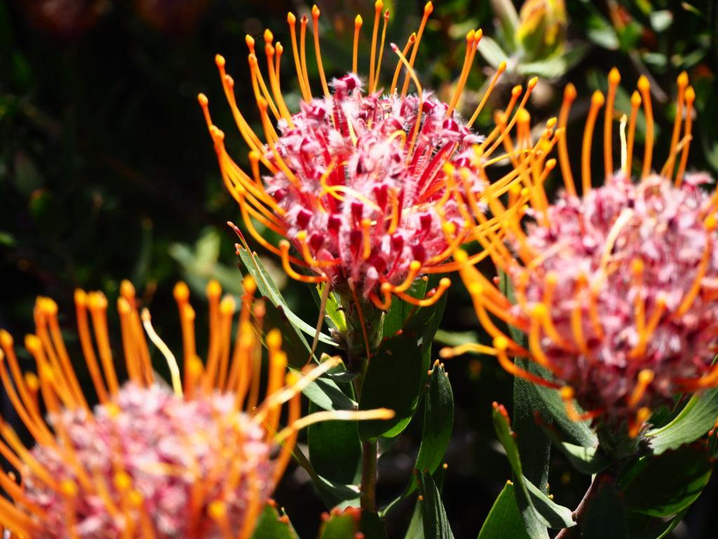 Magnifiques proteas ouvertes dans les tons roses et oranges sous le soleil du Cap