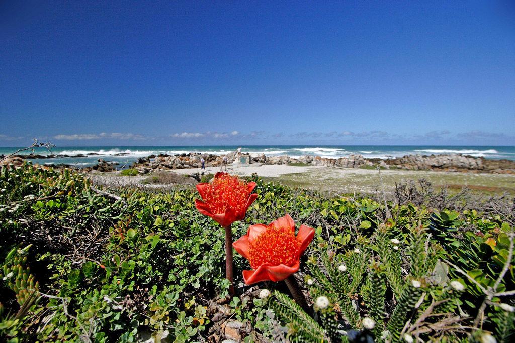 Deux fleurs de couleur rouge vif sont en premier plan de l ocean agite de la region du cap