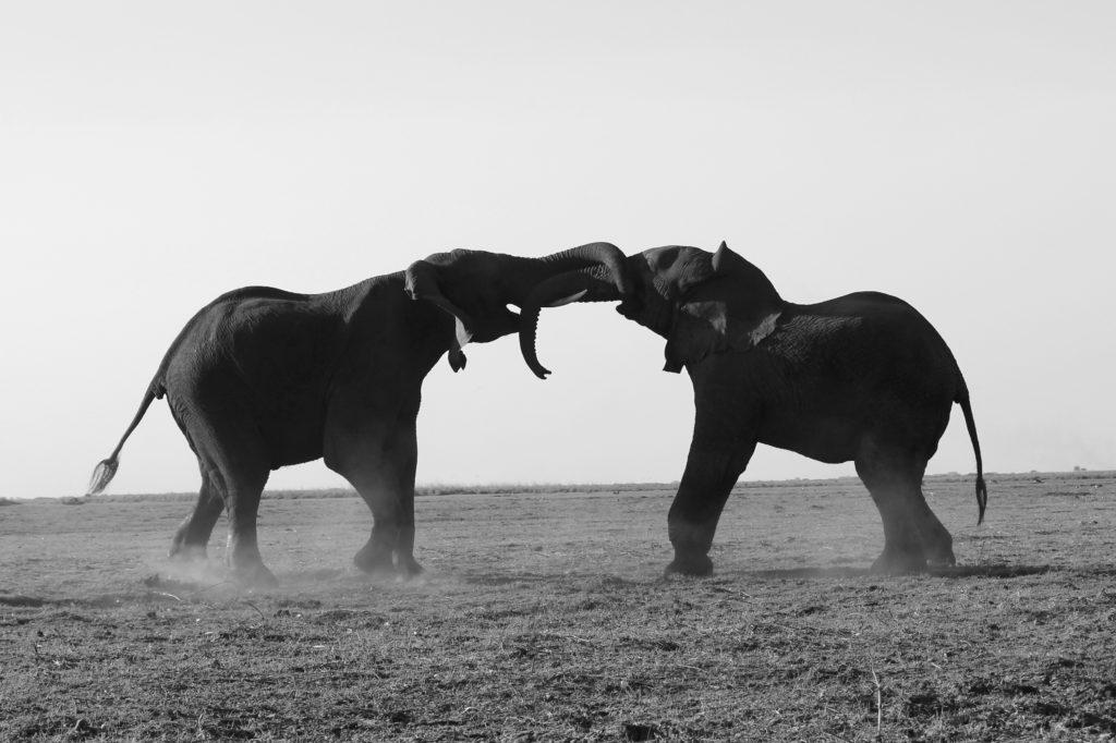 en noir et blanc, deux éléphants majestueux s'affrontent