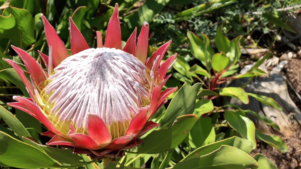 une protea rose, fleur endémique de la région de Cape Town