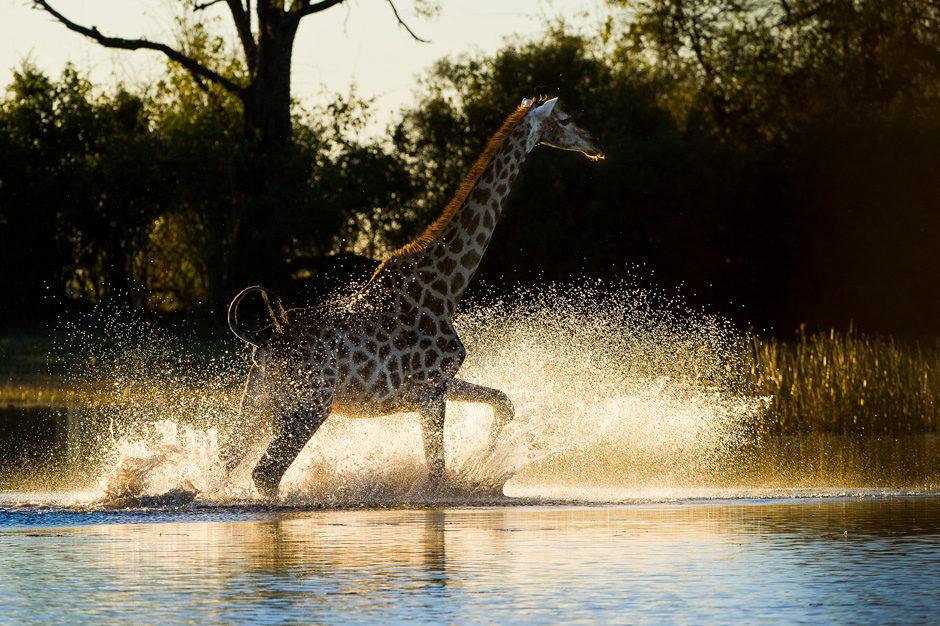 Une girafe traverse à toute allure un point d'eau des marais du Lynianti
