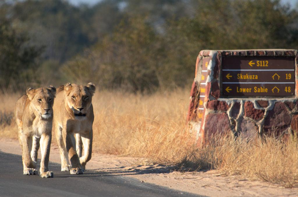 deux lionnes marchant côte à côte dans le parc kruger