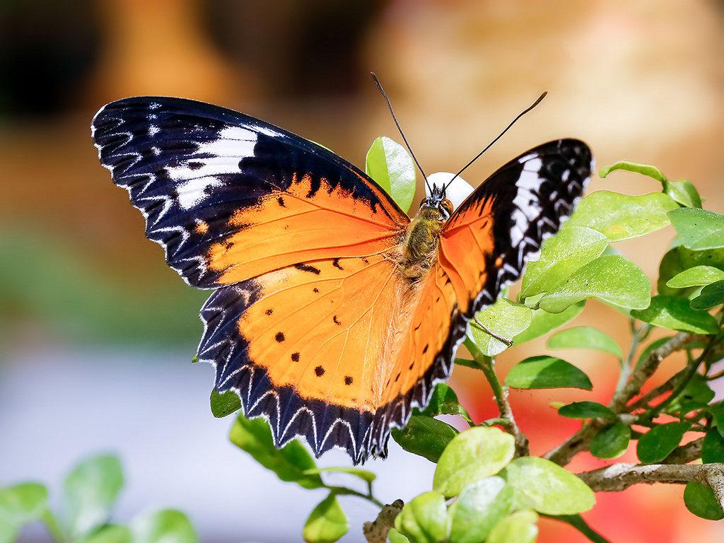 Un papillon aux tons orangers est pret a s'envoluer d une branche aux feuilles vertes