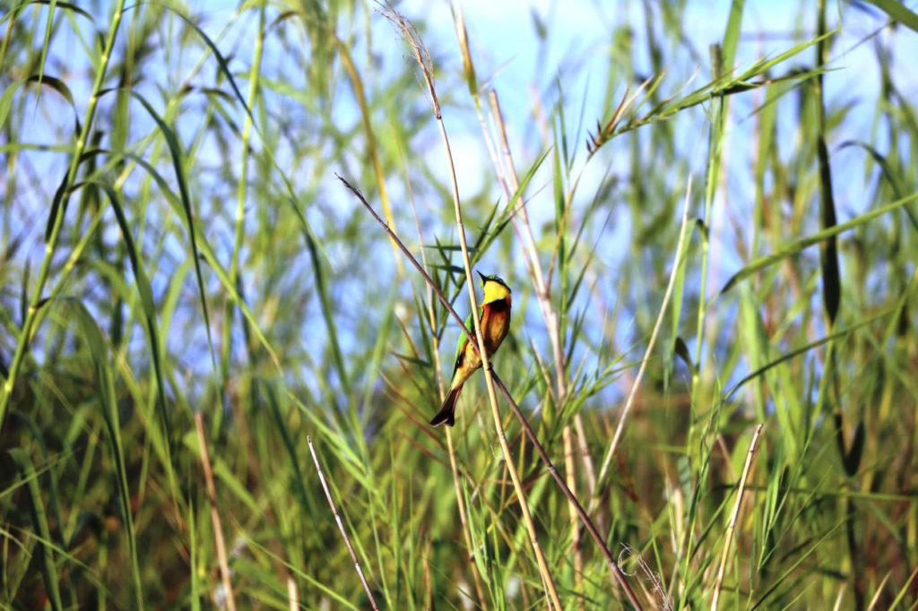 Un oiseau coloré est perché dans sur l'herbe des roseaux de Caprivi
