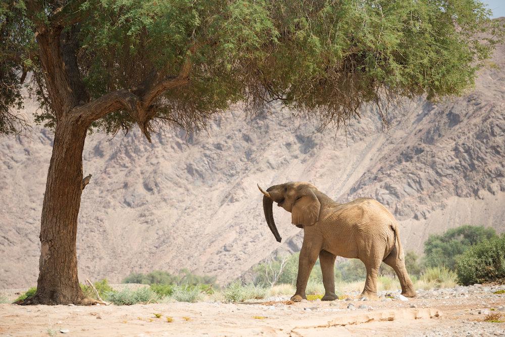 Un éléphant du désert recherche de la nourriture dans le Kaokovled