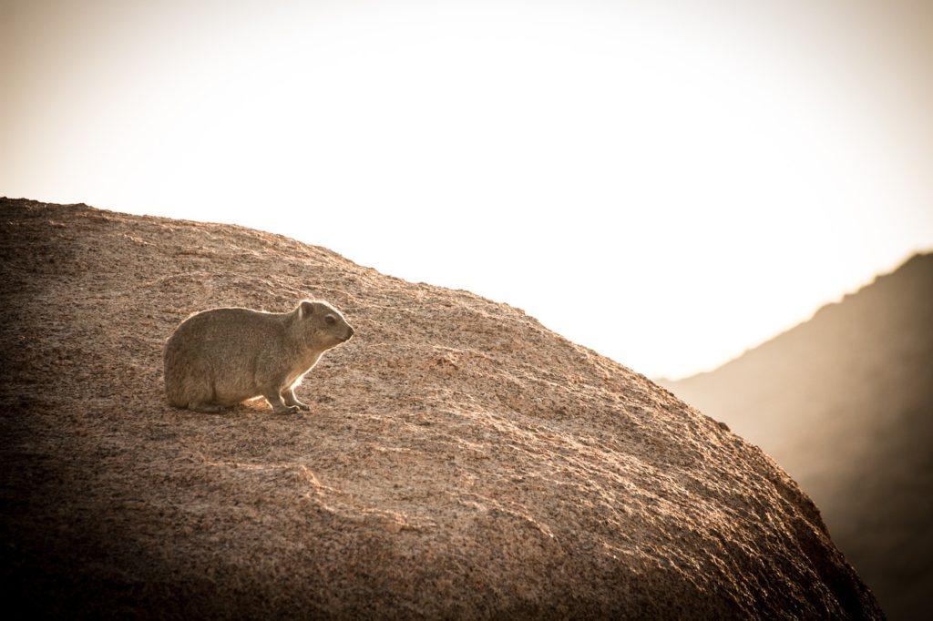 Gros plan sur un daman des rochers évoluant sur le site de Spitzkoppe