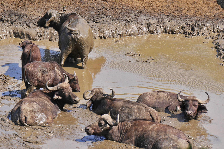 Sept buffles en train de prendre un bain de boue