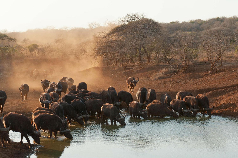 Un troupeau de buffles en train de s'abreuver autour d'un point d'eau