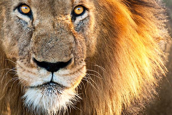 Gros plan sur la tête d'un lion