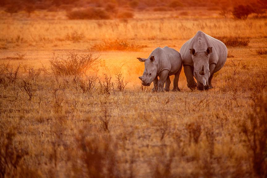 Une rhinocéros avec son petit évolue dans la savane