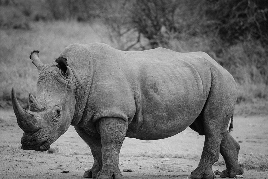 Photo en noir et blanc d'un bébé rhinocéros de profil