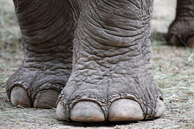 Gros plan sur les pattes d'un éléphant