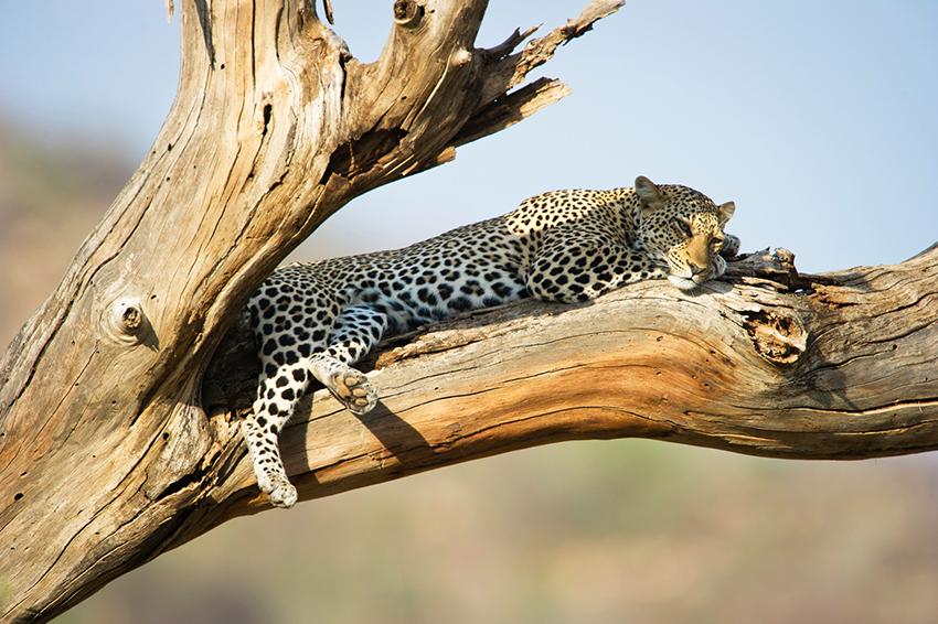 Dans le bush, un léopard dort sur la branche d'un arbre