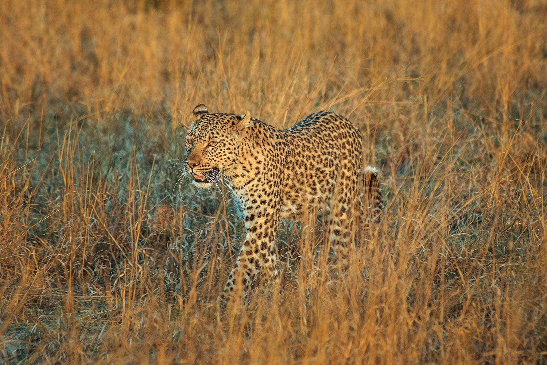 Un léopard marche dans la brousse dans la lumière du soleil