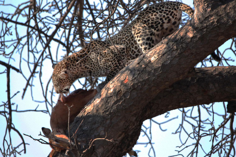 Un léopard est en train de manger sa proie sur la branche d'un arbre
